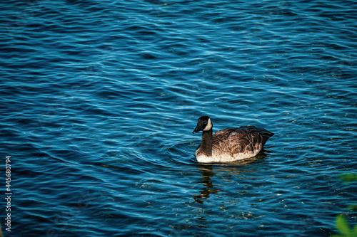 Goose swimming in Columbia river in Washington state #445680794