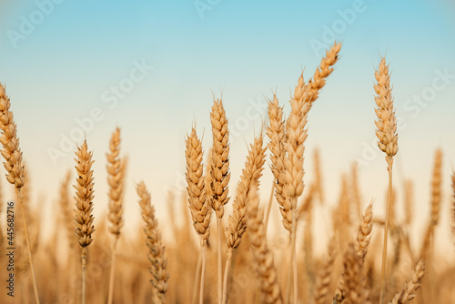 Billede på lærred Wheat field against blues sky at late summer harvest time, golden yellow wheat s