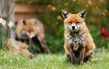 Close Up Of A Red Fox Sitting In Grass