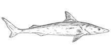 Whole Fresh Dogfish Shark On White. Vintage Engraving Monochrome Black Illustration.