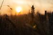 Zboże o zachodzie słońca. Kłos zboża z promieniami słońca.