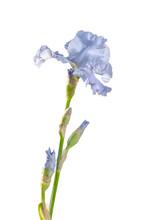 Light Blue Iris Isolated On White Background
