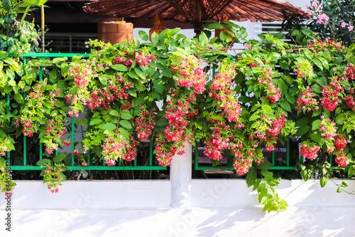 Fotografia Colorful combretum indicum flowers or rangoon creeper decorative hanging on fenc