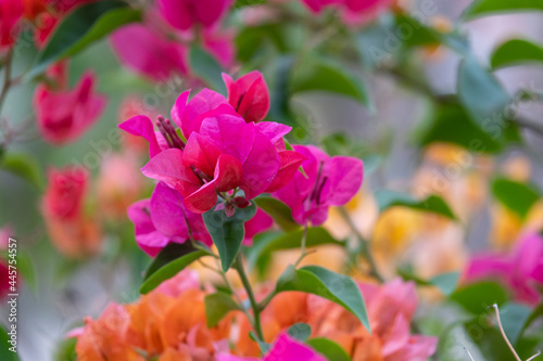 Foto fresh pink and colorful bougainvillaea blooming in botany garden