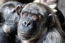 Chimpanzee (Pan Troglodytes) Old Man Looking Askance In A Zoo