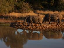 Wildebeest In The Water