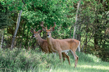 Two Bucks In The Woods Of Whiteish Montana