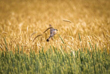 Red-backed Shrike Sits On A Spikelet Of Ripe Wheat In A Grain Field