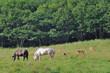 エゾシカと馬(北海道・鶴居村)