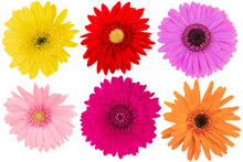 Collage Of Mix-Color (Yellow,Pink,Red,Orange) Gerbera Daisy As Background Picture.Gerbera On Clipping Path.