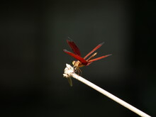 Red Dragonfly On Branch