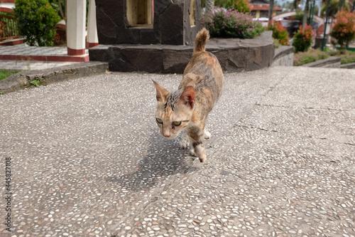 Tela portrait of a crippled cat that walks using only three legs