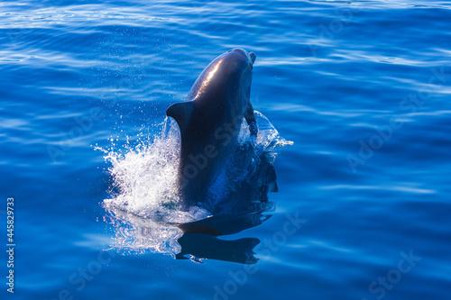 Common bottlenose dolphin surfacing on the Adriatic Sea in Croatia Fototapet