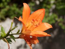 (Lilium) Lys Ou Lis à Fleurs Orangées Avec Boutons Dressées Au Sommet D'une Hampe Florale