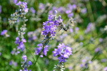 Blooming Lavender Is The Nectar That Bees Collect