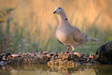 Eurasian Collared Dove (Streptopelia Decaocto) Perched On The Ground With Water
