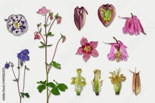 Akelei (Aquilegia), Blüte, Blatt, Samenstand, Bildtafel, freigestellt, Deutschla Fotobehang
