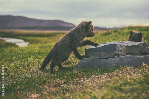 Fototapeta premium Arctic fox cub