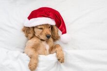 Funny English Cocker Spaniel Puppy Wearing Red Santa Hat Sleeps Under White Blanket At Home. Top Down View