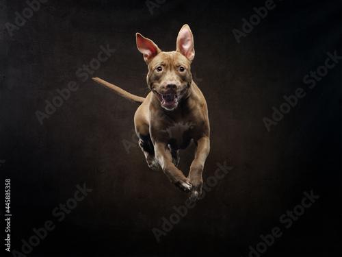 Fotografering flying forward pit bull terrier on a black background