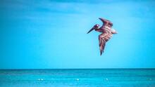 Pelicano Volando 2