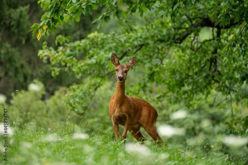 Fotografie, Obraz Female roe deer on green meadow an trees