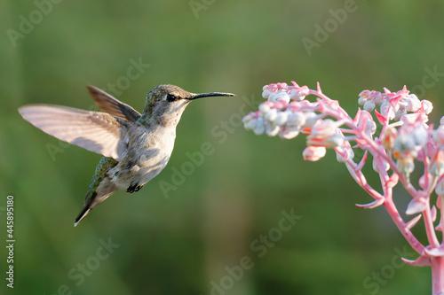 Fototapeta premium Beautiful shot of a cute gray hummingbird in flight on a blurry background