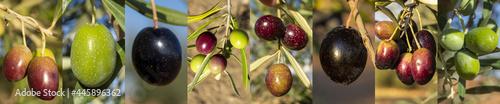 Fotografie, Obraz Aceitunas para aceite de oliva