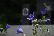 お墓の前の桔梗の花