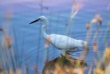 Aigrette Blanche Au Marais Derrière Des Brins White Egret In Swamp Behind Sprigs