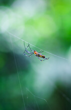 Spider Sitting On The Web With Green Background. Dewdrops On Spider Web (cobweb) Closeup With Green And Bokeh Background For The Wallpaper.