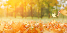 Fall Banner. Beautiful Autumn Yellow And Red Foliage In Golden Sun. Falling Leaves Natural Background Copy Space, Selective Focus Landscape