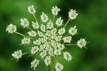Closeup Of Queen Anne Lace Flower