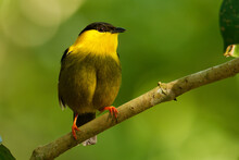 Golden-collared Manakin - Manacus Vitellinus Black And Yellow Bird In Family Pipridae, Found In Colombia And Panama In Subtropical Or Tropical Moist Lowland Forest And Degraded Former Forest
