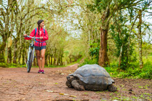 Galapagos Giant Tortoise And Tourist Cycling On Bike On Santa Cruz Island On Galapagos Islands. Animals, Nature And Wildlife Image Of Tortoise In Highlands Of Galapagos, Ecuador, South America