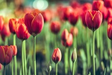 Many Beautiful Red Tulip Flowers In The Field.