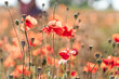 Abstract background with poppies in the field on a sunny summer day