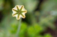 Isolated Poppy Seed Head