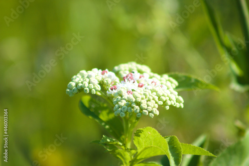 Dwarf elder in bloom closeup with green selective focus background Fototapeta