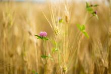 Clover In Wheat Field In Summer