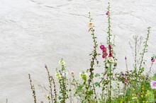 Rose Trémière, Passe-rose (Alcea Rosea) En Fleur Au Bord D'un Cours D'eau