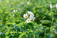 Blooming Potatoes Close Up. White Blooming Potato Flower On A Farm Field