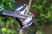 Female Great Spotted Woodpecker, Dendrocopos Major, Feeds Her Young Male Fledgeling Seeds From A Garden Feeder.