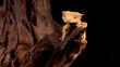 Gekon orzęsiony ciliatus