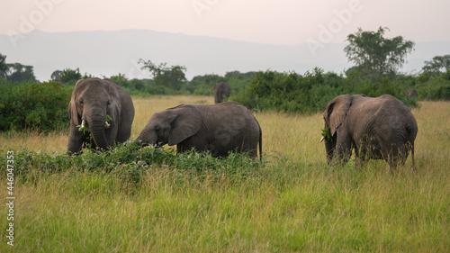 African elephants in Queen Elizabeth National Park, Uganda