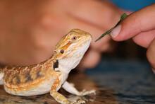 Boys Hand Feeding Pet Bearded Dragon