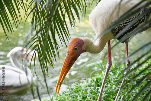 Fotografia A painted stork with an open beak bent over the grass on the shore of the lake