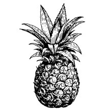 Vector Hand Drawn Sketch Pineapple. Tropical Summer Fruit Engraved Style Illustration. Detailed Food Drawing. Great For Label, Poster, Print