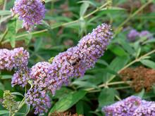 Drone Fly, Eristalis Tenax On Butterfly Bush, Buddleja Davidii 'Pink Delight'