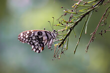 Papilio Demoleus Is A Common And Widespread Swallowtail Butterfly. The Butterfly Is Also Known As The Lime Butterfly,  Lemon Butterfly, Lime Swallowtail, And Chequered Swallowtail.